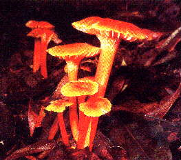 Gilled Fungus
